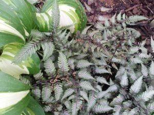 Athyrium niponicum var. pictum, Japanese Painted fern
