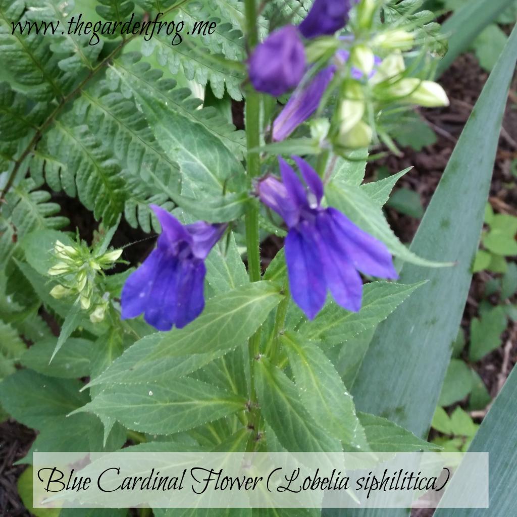 Blue Cardinal Flower, Lobelia siphilitica