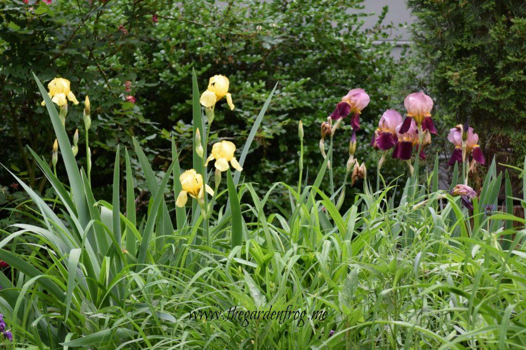Plant Iris in the garden