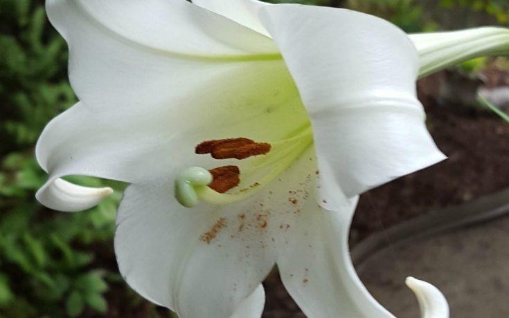 Formosa Lily (Lilium formosanum)