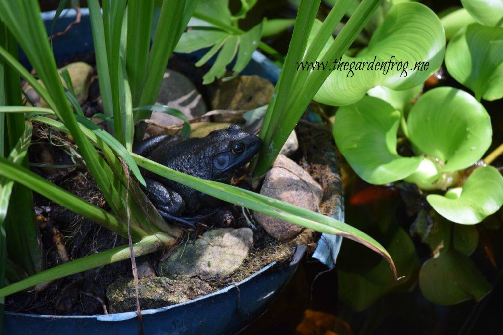 The American Bullfrog, frogs, garden frog