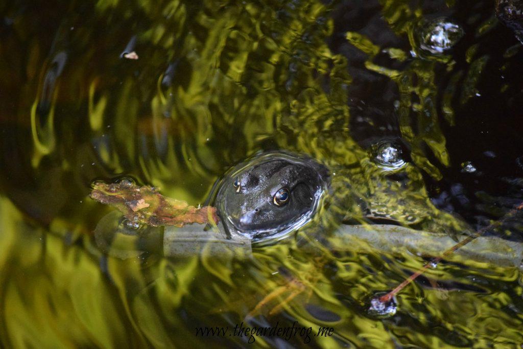 The American Bullfrog, frogs in garden, frog